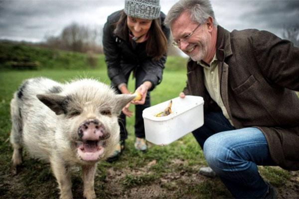 Hausschwein Piggy dient als Bio-Tonne